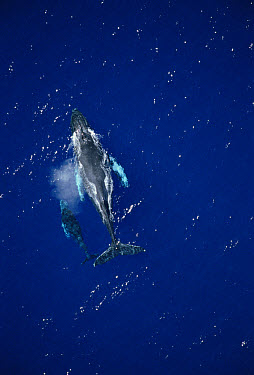 Humpback Whale (Megaptera novaeangliae) aerial measuring shot of cow and calf, Maui, Hawaii - notice must accompany publication; photo obtained under NMFS permit 987  -  Flip  Nicklin