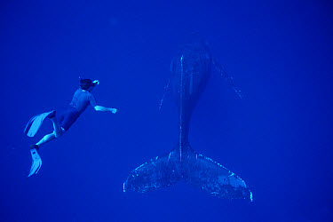 Humpback Whale (Megaptera novaeangliae) and BBC photographer Ric Cosenthal, Maui, Hawaii - notice must accompany publication; photo obtained under NMFS permit 987  -  Flip  Nicklin