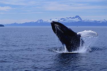 Humpback Whale (Megaptera novaeangliae) breaching, Southeast Alaska  -  Flip  Nicklin