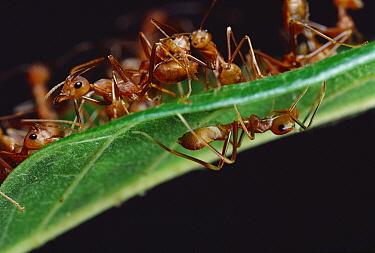 Green Tree Ant (Oecophylla smaragdina) group on top of leaf with Ant-mimicking Jumping Spider (Myrmarachne sp) hiding underneath, Sri Lanka  -  Mark Moffett