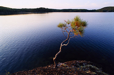 Red Pine (Pinus resinosa) at edge of lake in Boundary Waters Canoe Area Wilderness with 1200 miles of canoe routes, part of Superior National Park, Minnesota  -  Jim Brandenburg