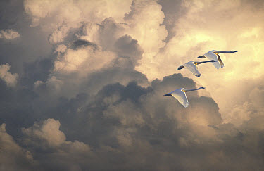 Tundra Swan (Cygnus columbianus) trio flying against cloudy sky, Minnesota  -  Jim Brandenburg