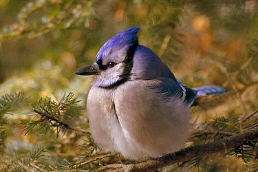 Blue Jay (Cyanocitta cristata) perching in pine tree, Minnesota  -  Jim Brandenburg
