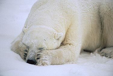 Polar Bear (Ursus maritimus) sleeping, Churchill, Manitoba, Canada  -  Flip  Nicklin