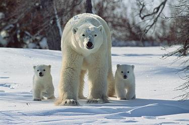 Polar Bear (Ursus maritimus) portrait of mother with three month old cubs, Wapusk National Park, Canada  -  Mitsuaki Iwago