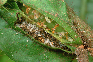 Ant (Pheidole sp) group lives in pockets on leaves of Melastoma (Maieta sp) shrubs One chamber serves as a nursery and one chamber for refuse which acts as plant fertilizer  -  Mark Moffett