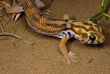 Common Wonder Gecko (Teratoscincus scincus) on dunes near Kerman, Iran  -  Mark Moffett
