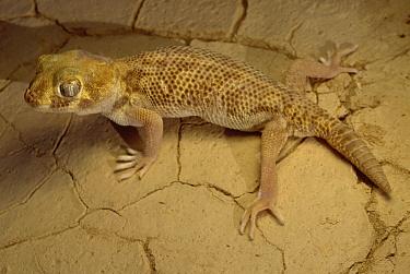 Common Wonder Gecko (Teratoscincus scincus) on dunes near Zabul, Iran  -  Mark Moffett