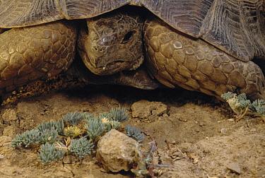 Mediterranean Spur-thighed Tortoise (Testudo graeca) near Darmazar, Kerman Province, Iran  -  Mark Moffett