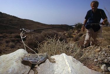 Herpetologist Ted Papenfuss catches a lizard, Geno Mountain, Iran  -  Mark Moffett