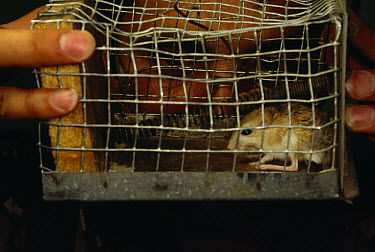 Researcher Mohammed Javidkar with hand made rodent trap, Zabul, Iran  -  Mark Moffett