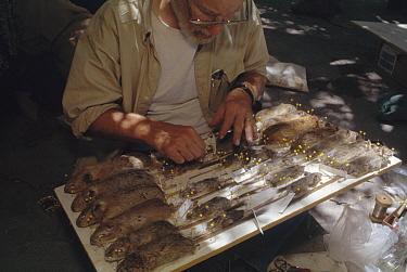 Biologist Jim Patton pinning fresh rodent specimens, Aaabshar-rayen, Iran  -  Mark Moffett
