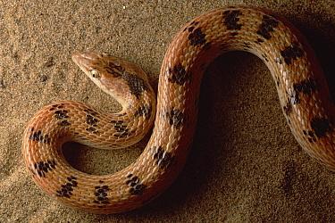 Maynard's Longnose Sand Snake (Lytorhyncus maynardi) portrait, near Zabul, Iran  -  Mark Moffett