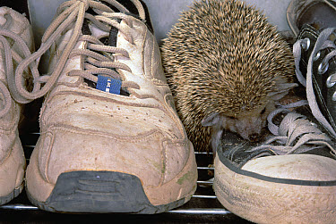Brown-breasted Hedgehog (Erinaceus europaeus) pet loose in Kerman guest house, climbs on shoes, Iran  -  Mark Moffett