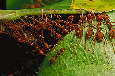 Weaver Ant (Oecophylla longinoda) group building nest by pulling on leaves and forming chains, Africa  -  Mark Moffett