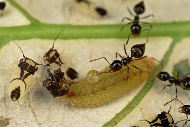 Ant (Crematogaster sp) group tending Hairstreak Caterpillar, are attracted to liquid excreted from abdomen of Caterpillar, French Guiana  -  Mark Moffett