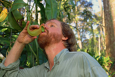 Mark Moffett, photographer, drinking liquid from fresh Villose Pitcher Plant (Nepenthes villosa) housing swimming Ants, Brunei, Borneo  -  Mark Moffett