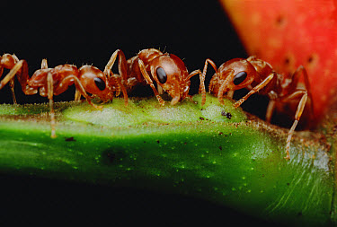 Ant (Pseudomyrmex sp) trio drink nectar from Whistling Thorn (Acacia drepanolobium) acacia tree and protect the tree from leaf eating enemies ensuring mutual survival, Costa Rica  -  Mark Moffett