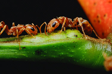 Ant (Pseudomyrmex sp) pair drink nectar from Whistling Thorn (Acacia drepanolobium) acacia tree and protect the tree from leaf eating enemies ensuring mutual survival, Costa Rica  -  Mark Moffett