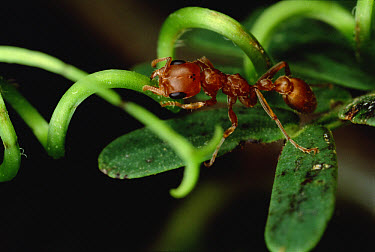Ant (Pseudomyrmex sp) ripping up vine that disturbs its host Whistling Thorn (Acacia drepanolobium) acacia tree, Costa Rica  -  Mark Moffett