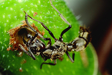 Ant (Pachycondyla sp) queen digging entry into (Cecropia sp) sapling in search of place to start new colony  -  Mark Moffett