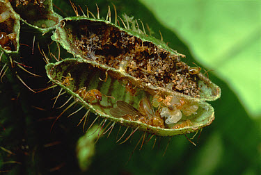 Ant (Pheidole sp) group lives in pockets on leaves of Melastoma (Maieta sp) shrubs, one chamber serves as a nursery and one chamber for refuse which acts as plant fertilizer, Manu, Peru  -  Mark Moffett