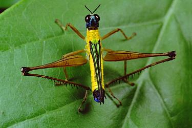 Grasshopper portrait, Amazonian Ecuador  -  Mark Moffett