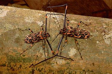 Harlequin Beetle (Acrocinus longimanus) pair courting, French Guiana  -  Mark Moffett