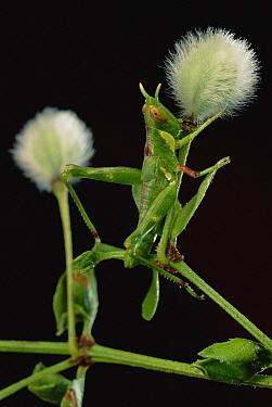 Creosote Bush Grasshopper (Bootethix argentatus) with Creosote Fruit (Larrea tridentata)  -  Mark Moffett