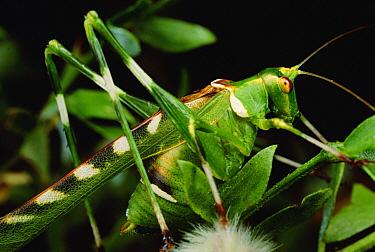 Creosote Katydid (Insara covilleae) on Creosote bush (Larrea tridentata)  -  Mark Moffett