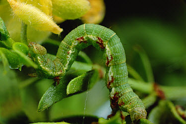 Creosotebush Caterpillar (Semiothisa colorata) green-colored form matches surroundings and works as camouflage  -  Mark Moffett