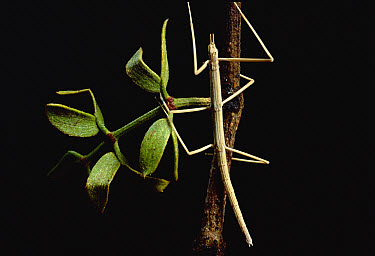 Creosote Walking Stick (Diaphomera velii) young on Creosote Bush (Larrea tridentata)  -  Mark Moffett