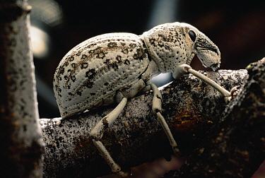 Creosote Bush (Larrea tridentata) with Creosote Weevil  -  Mark Moffett