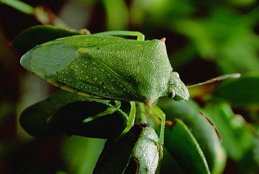 Creosote Bush (Larrea tridentata) with Stink Bug  -  Mark Moffett