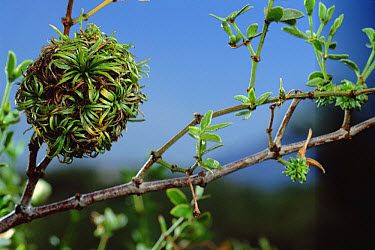 Creosote Bush (Larrea tridentata) with creosote gall caused by fly  -  Mark Moffett