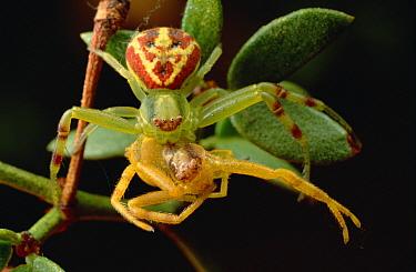 Crab Spider (Thomisidae) on Creosote bush (Larrea tridentata) practices cannibalism  -  Mark Moffett