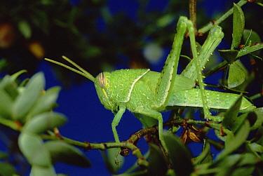 Creosote Bush (Larrea tridentata) with grasshopper  -  Mark Moffett