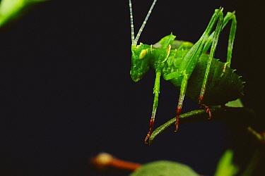 Creosote Katydid (Insara covilleae) young on Creosote Bush (Larrea tridentata)  -  Mark Moffett