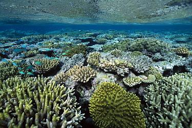 Corals in shallow water, Great Barrier Reef, Australia  -  Flip  Nicklin