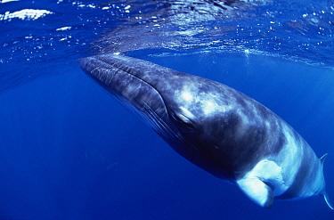Dwarf Minke Whale (Balaenoptera acutorostrata) surfacing, Western Australia  -  Flip  Nicklin