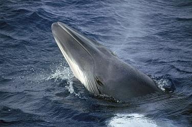 Dwarf Minke Whale (Balaenoptera acutorostrata) spyhopping, Western Australia, Australia