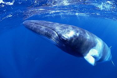 Dwarf Minke Whale (Balaenoptera acutorostrata) near Lizard Island and the Great Barrier Reef, Australia  -  Flip  Nicklin