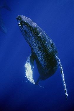 Humpback Whale (Megaptera novaeangliae) friendly singer, Maui, Hawaii - notice must accompany publication; photo obtained under NMFS permit 987  -  Flip  Nicklin