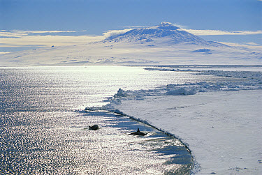 Orca (Orcinus orca) pair along ice edge, Mt Erebus in background, Antarctica  -  Norbert Wu