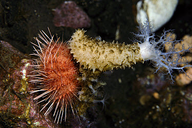 Sea Urchin (Sterechinus neumayeri) covers itself with a Sea Cucumber (Echinopsolus acanthocola) and other objects to prevent predation by anemones, Antarctica  -  Norbert Wu