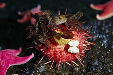 Sea Urchin (Sterechinus neumayeri) covers itself with algae, corals and shells to prevent predation by anemones, Antarctica, note Trematomus fish  -  Norbert Wu