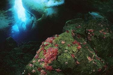Sea Star (Odontaster validus) group feeding on Algae, Weddell Seal (Leptonychotes weddellii) near surface of undersea ice crack, Antarctica  -  Norbert Wu