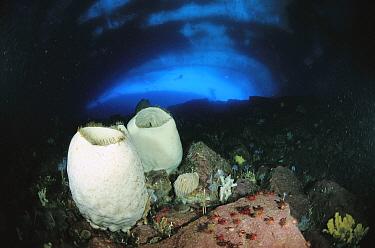 Volcano Sponge (Anoxycalyx joubini) pair primitive animal colonies that filter water for food particles, Antarctica  -  Norbert Wu