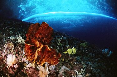 Sponge (Rossella fibulata) primitive animal colonies that filter water for food particles, Antarctica  -  Norbert Wu
