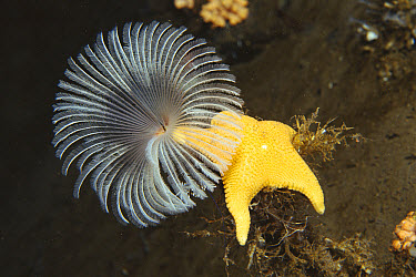 Sea Star (Odontaster sp) climbing up the stalk of a Feather Duster Worm (Perkinsiana sp) uses feathery gills to filter seawater for food particles, Antarctica  -  Norbert Wu